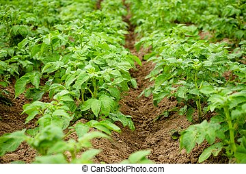 a kertben, krumpli, grows., noha, megfelelő, törődik, a, krumpli, bokrok, akar, lenni, erős, és, gyönyörű, és, alatt, fontosság, a, krumpli, itself, akar, lenni, good., tanya, alatt, a, village.
