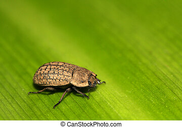 a kind of coleoptera beetles - a kind of coleoptera insects
