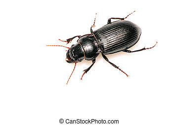 carabidae - a kind of insects named carabidae on a white ...