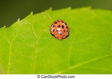 potato ladybird