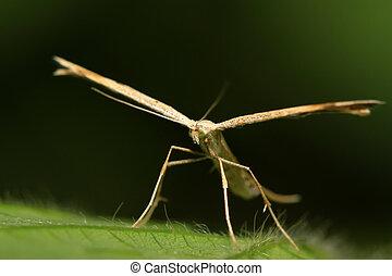 sweet potato plume moth - a kind of moth named sweet potato...