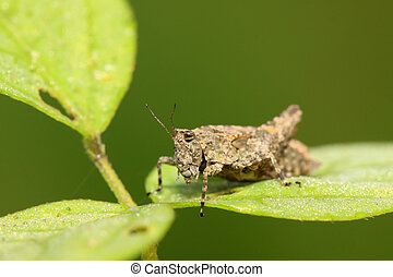 locust - a kind of orthoptera insects locust in the wild