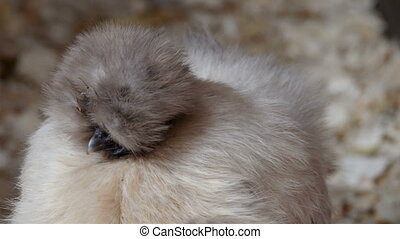 A kind of silkie chicken with white feathers