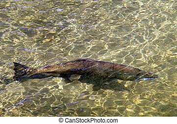 A King Salmon in a River - A King (Chinook) Salmon in a...