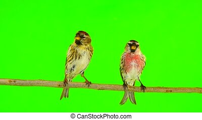 a kiss of birds two Common Redpoll (Acanthis flammea) on green screen