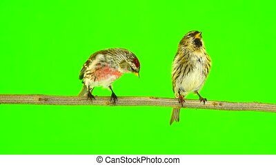 a kiss of birds two Common Redpoll (Acanthis flammea) on...