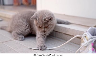 A kitten of the British breed, fun to play on the doorstep ...