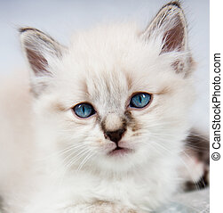 A kitten with blue eyes