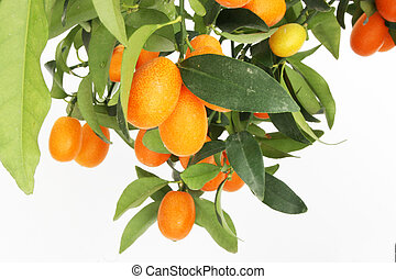 a kumquat tree branch isolated on a white background
