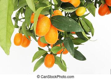 kumquat tree branch - a kumquat tree branch isolated on a...