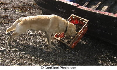 A Labrador inspecting a crate of oysters on the beach. A old...
