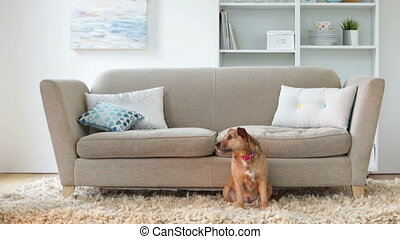 A lady and her dog - Senior woman walks over to her sofa to...