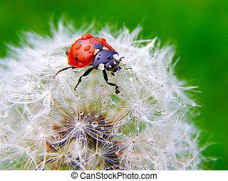 A ladybug on a fluffy dandelion seeds