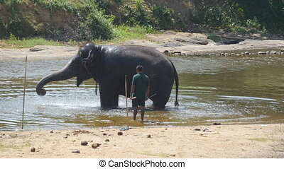 A large african elephant bathes in river or lake. Close up