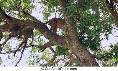 A large African lion coming down from the tree