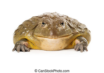 African Pixie Frog - A large African Pixie Frog sitting and...