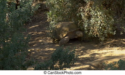 A large African tortoise crawls on the ground. Turtle in the...