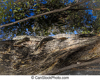 A large Australian lizard climbing on a tree - A large ...
