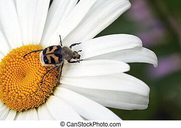 A large beetle on a chamomile flower. Macro shooting