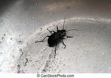 A large black beetle on the bottom of a metal sink with water drops.
