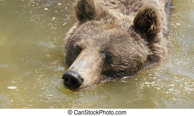 A large brown bear is swimming in a pond in a zoo on a sunny day in summer