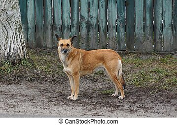 a large brown dog stands outside in the fence