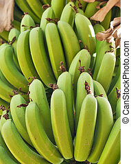 A large bunch of green bananas on a plantation in Israel