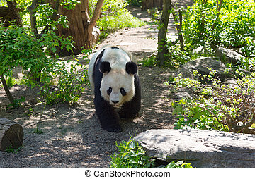 A large Chinese panda walks through a bamboo forest.