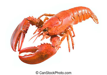 A large cooked red lobster over white