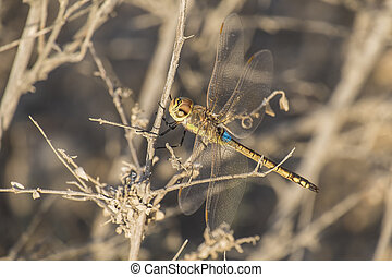A large dragonfly sits on a dry branch