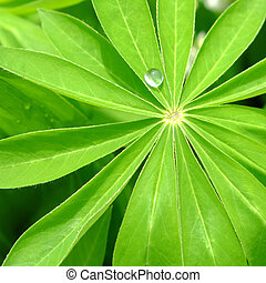 A large drop of water on a sheet of lupine.