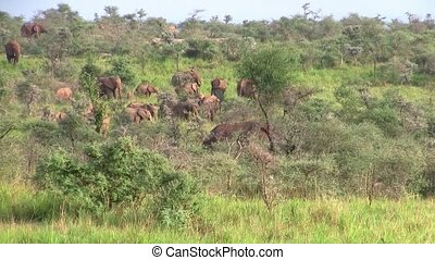 A Large Elephant Herd in the Bush