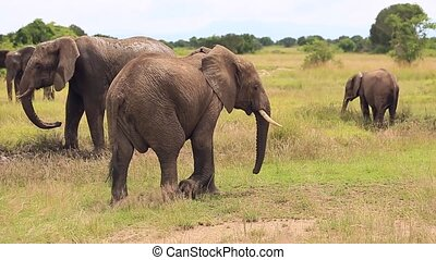 A large elephant passes by and scratches its ear with its trunk