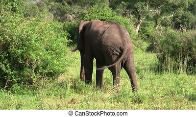 A Large Elephant with Tusks in the Bush