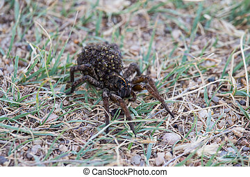 A large female wolf spider carries offspring on her back.