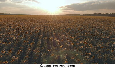 A large field with a sunflower at sunset. Aerial View -...