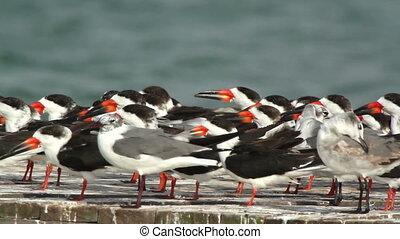a large flock of black skimmer birds in ria largartos, mexico