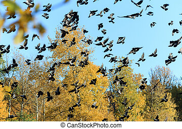 A large flock of crows on the background of autumn forest and blue sky.