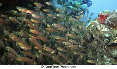 A large flock of fish Pigmy sweeper Parapriacanthus...