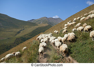 large flock of sheep in the pasture - a large flock of sheep...