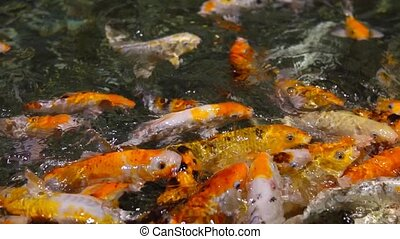 a large flock of trout fish feeds in water 1