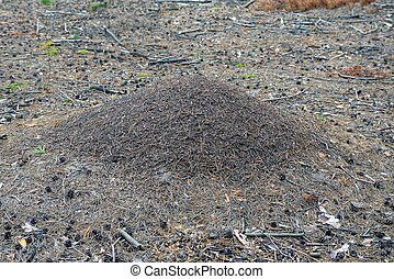 a large gray brown anthill in the forest among dry needles and cones