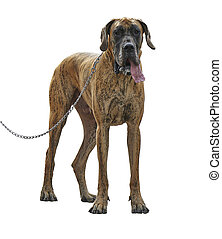 A large Great Dane dog standing with leash. Isolated on...