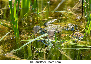 A large green frog sits in the marsh.