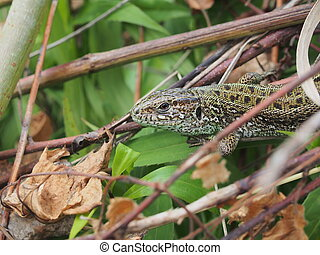 A large green lizard sits on a pile of branches.