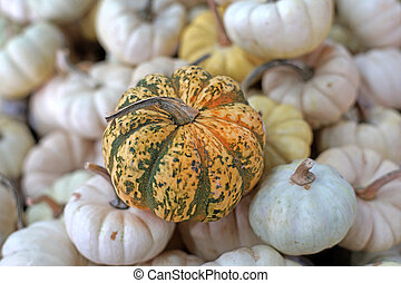 carnival squash pumpkin - A large group of carnival squash...