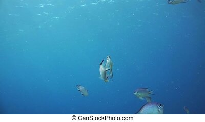 A large group of fish swim in the Red Sea