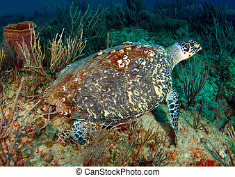 A large Hawksbill Turtle with barnacles on its shell resting on a reef.