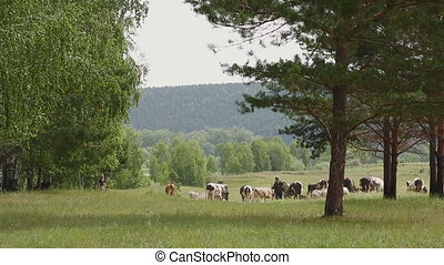 A large herd of cows with sheep grazing near forest edge.