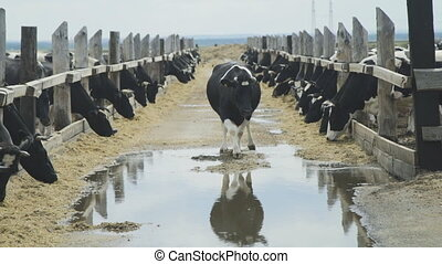 A large herd of dairy cows eat silage in a pen in open air.